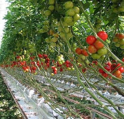 tomate-serre