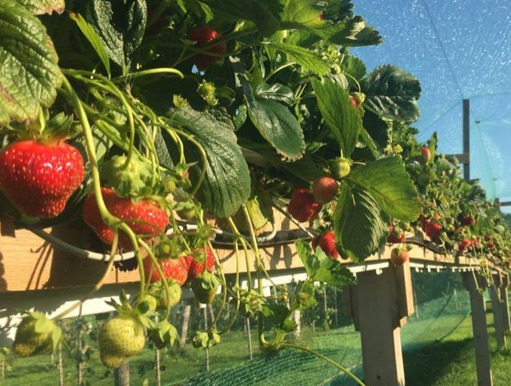 fraises2740x560acfcropped