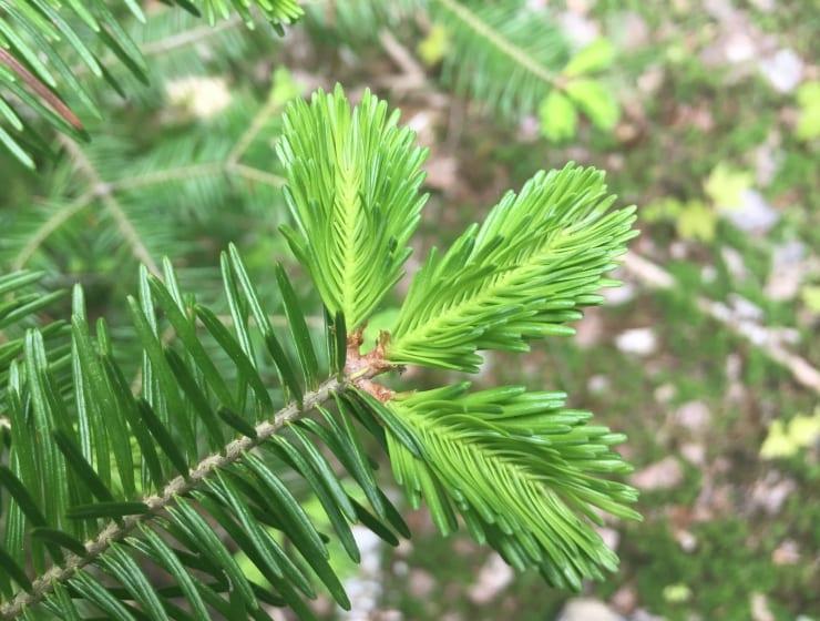 nature-en-bouche-sapin-baumier740x560acfcropped